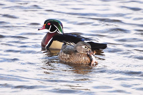 Wood duck - (cute-icus)