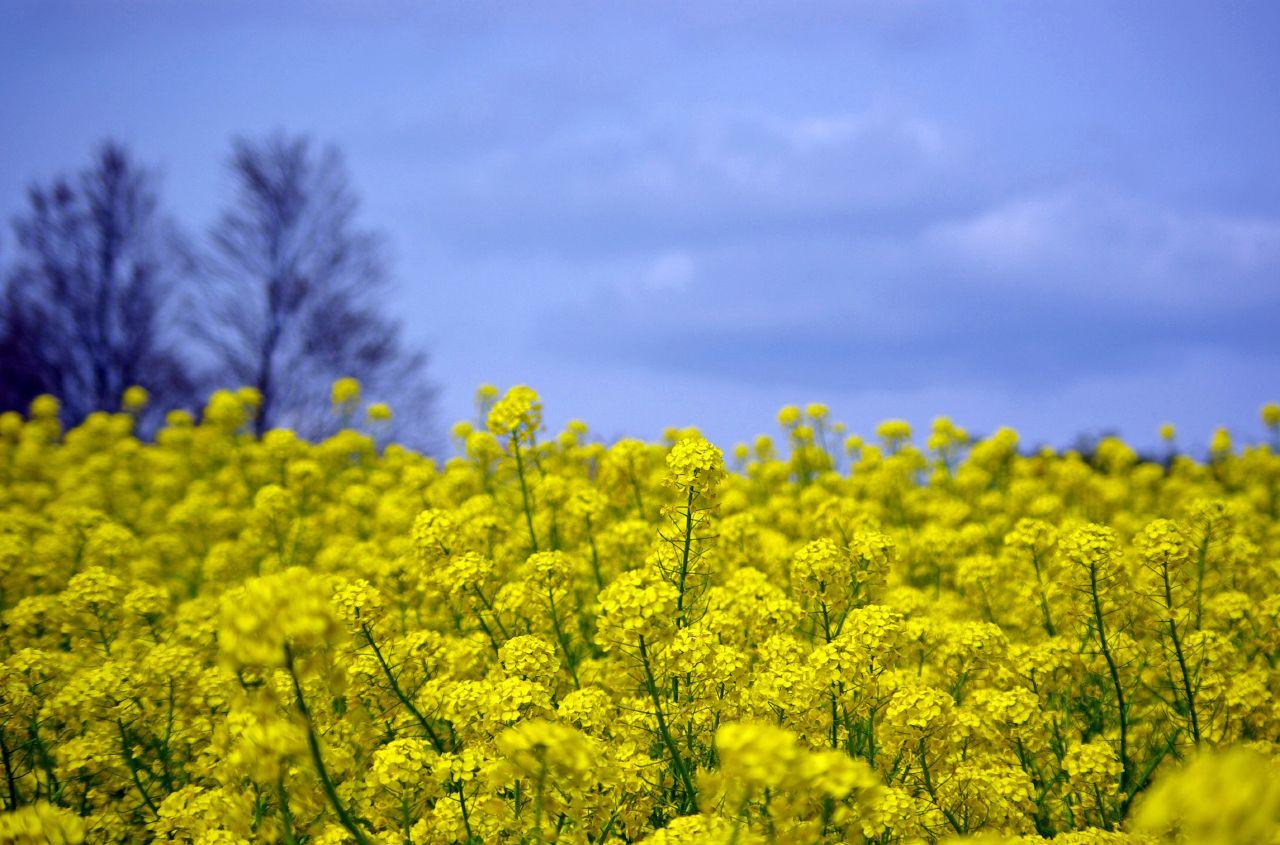 Pin Pin-mustard-flower-field-hd-desktop-wallpaper-high ...