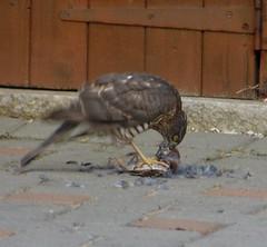 Female Sparrowhawk Eating a Sparrow