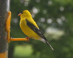 wildlife(0.0), atlantic canary(1.0), animal(1.0), eurasian golden oriole(1.0), yellow(1.0), fauna(1.0), beak(1.0), bird(1.0),