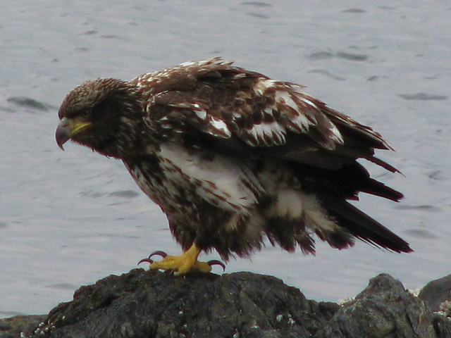 A teen bald-headed eagle. The brown speckled birds are adolescent bald ...