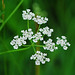 common hedge parsley - Photo (c) Jerry Oldenettel, some rights reserved (CC BY-NC-SA)