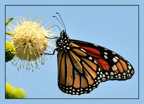 Monarch And Ball Flower