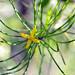 A very rare plant by Sündew