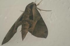 Huge moth is huge