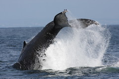 common bottlenose dolphin(0.0), short-beaked common dolphin(0.0), animal(1.0), marine mammal(1.0), whale(1.0), sea(1.0), marine biology(1.0), grey whale(1.0), wind wave(1.0), humpback whale(1.0),