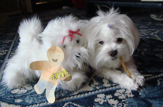 Maltese Puppy and Cute Toy Puppy