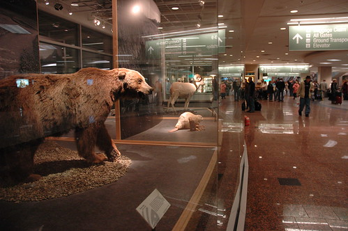 Stuffed brown bear, albino beaver, view of the Anchorage International Airport, Anchorage, Alaska, USA by Wonderlane