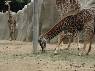 Giraffes at San Diego Zoo