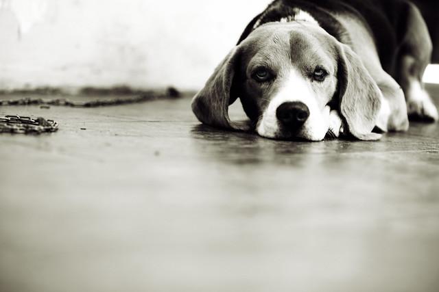 el jadeo de un perro