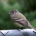 Hammond's Flycatcher - Photo (c) Pablo Lèautaud, some rights reserved (CC BY-NC-ND)