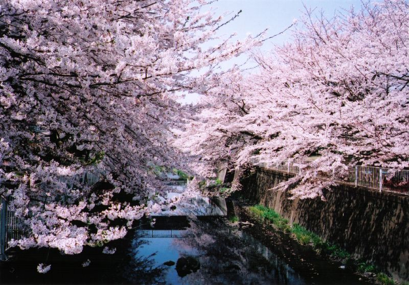 cherryblossoms and river