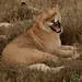 Big Lion Yawn - Serengeti, Tanzania