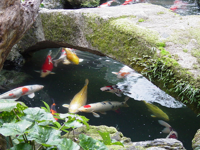 Koi pond kyoto japan flickr photo sharing for Pictures of japanese koi pond