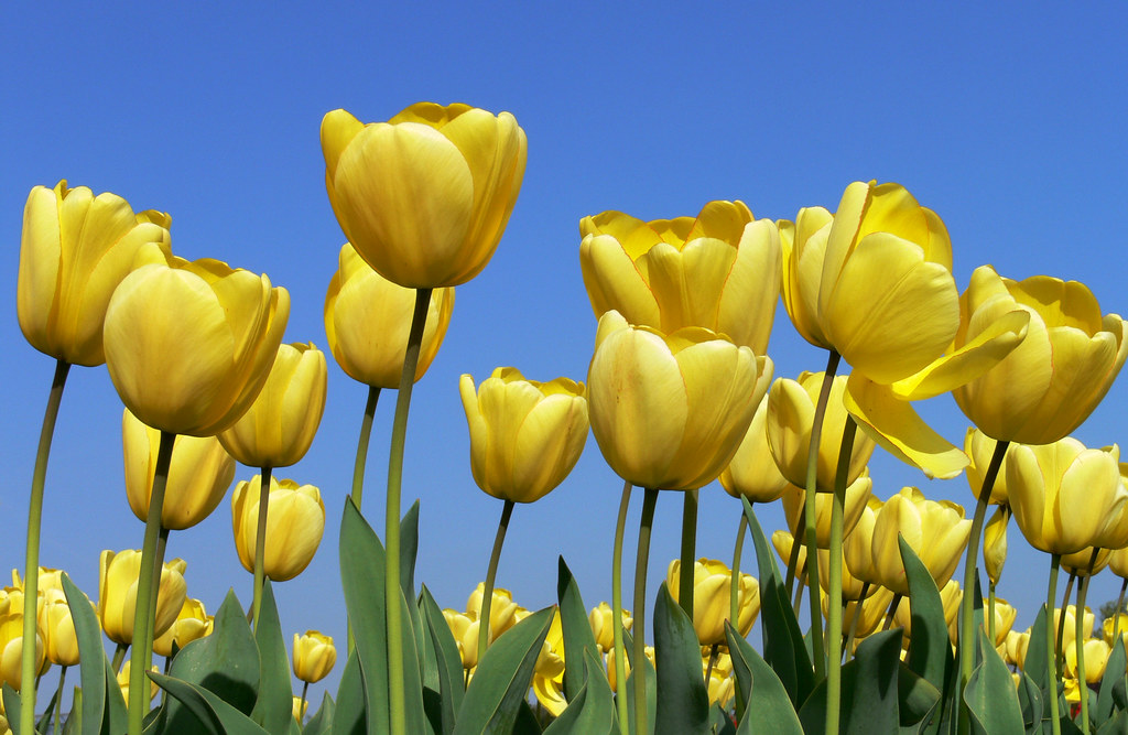 Yellow Tulips And Blue Sky The Beautiful Tulips Of