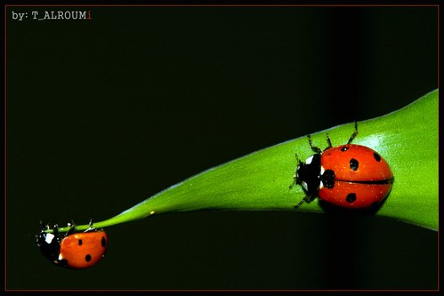 my sweet ladybirds