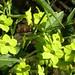 green nicotiana.jpg by Gardens of Gaia