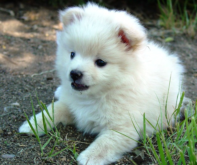 The White Half Pomeranian Half Poodle Puppy #2 at my Brother's House