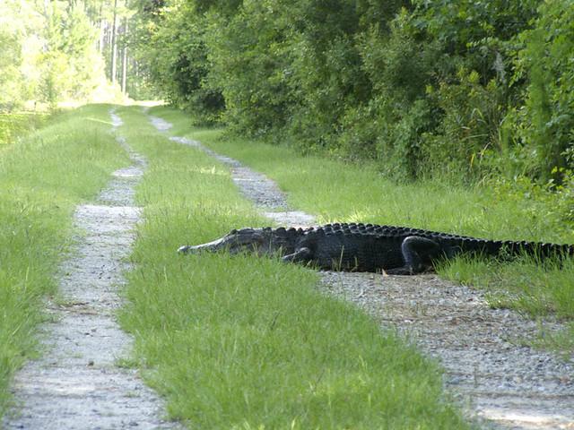 Alligator Valdosta Georgia Here S A Good Sized Alligat Flickr