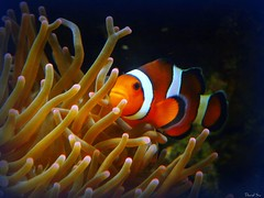 coral reef, animal, anemone fish, coral, fish, coral reef fish, organism, marine biology, invertebrate, macro photography, marine invertebrates, underwater, reef, sea anemone,