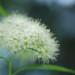 """Spiraea japonica """"Albiflora"""" by kaycatt*"""