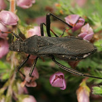 szőrös tövispoloska - Alydus calcaratus