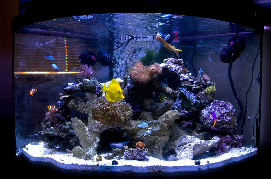 Dwarf angel fowlr tank manhattan reefs for How many fish can be in a 20 gallon tank