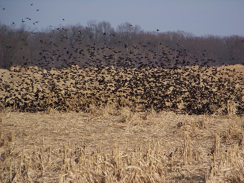 field birds illinois corn midwest wildlife blackbirds ofallon kodakz812is