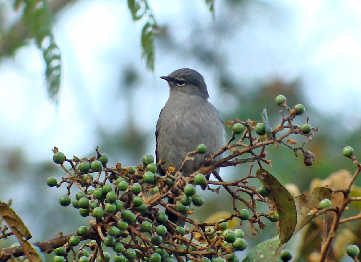 Slate-colored Solitaire