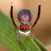 _MG_0319 peacock spider Maratus splendens by Jurgen Otto