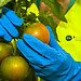 Cuidando de un tomate de ensalada...