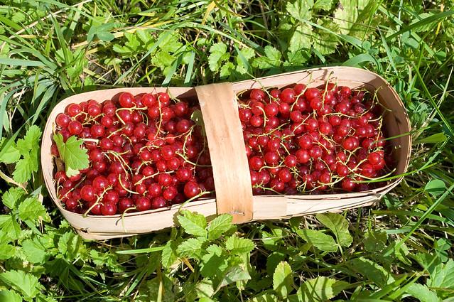 Basket with red currant berries * Корзина с ягодами красной смородины