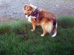 puppy(0.0), animal(1.0), dog(1.0), grass(1.0), pet(1.0), mammal(1.0), nova scotia duck tolling retriever(1.0), rough collie(1.0), australian shepherd(1.0), collie(1.0),