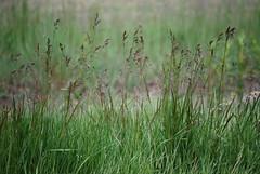 wetland(0.0), flower(0.0), chrysopogon zizanioides(0.0), lawn(0.0), prairie(1.0), steppe(1.0), sweet grass(1.0), grass(1.0), plant(1.0), hierochloe(1.0), flora(1.0), green(1.0), natural environment(1.0), phragmites(1.0), meadow(1.0), plant stem(1.0), grassland(1.0),
