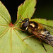 Hoverfly on Acer leaf