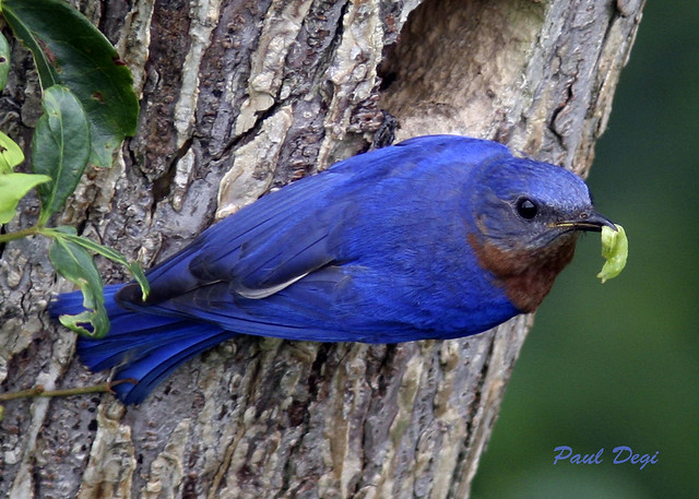 The Very Very- Blue Blue -Bluebird.