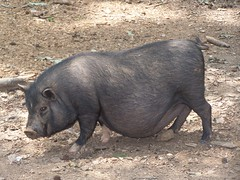 animal, peccary, wild boar, domestic pig, pig, fauna, pig-like mammal, wildlife,