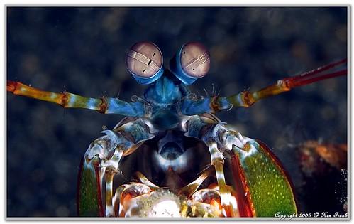 4581 Mantis shrimp