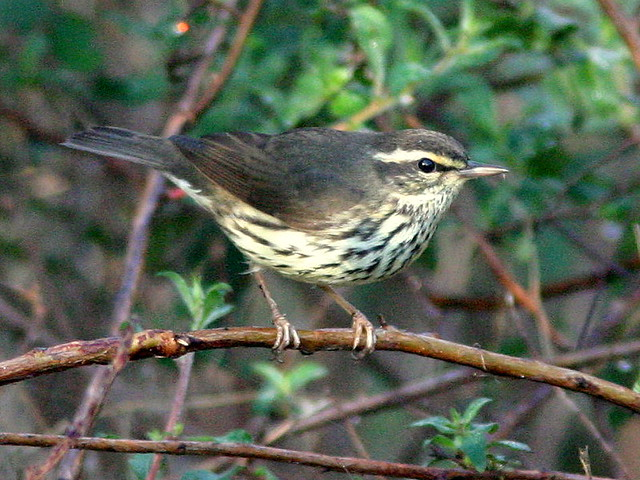Northern Waterthrush Edited 20081229