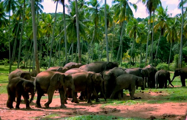 Lanka elephants 3, Pinnawela, Sri Lanka