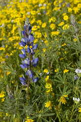 Arroyo Lupine and Goldfields