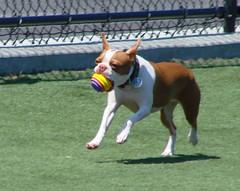 animal sports, animal, dog, pet, mammal, boston terrier, bulldog,