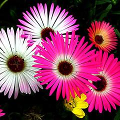 daisy(0.0), plant stem(0.0), daisy(0.0), dorotheanthus bellidiformis(1.0), annual plant(1.0), flower(1.0), purple(1.0), plant(1.0), gerbera(1.0), macro photography(1.0), flora(1.0), floristry(1.0), close-up(1.0), pink(1.0), petal(1.0),
