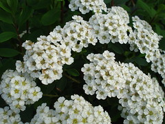 Small white flower clusters