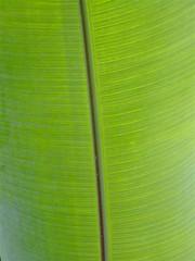 leaf, line, green, banana leaf,