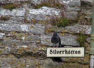 Pigeon in Castle Wall