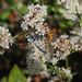 Seacliff Wild Buckwheat - Photo (c) stonebird, some rights reserved (CC BY-NC-SA)