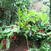 Small photo of Red Ginger (Alpinia purpurata)