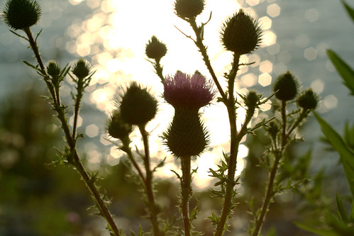 Thistle in the Sunshine