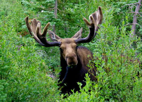 Shiras Moose - Grand Teton National Park